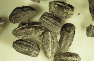 底加啦! 南科考古館邀民來看「台灣第一顆稻米」