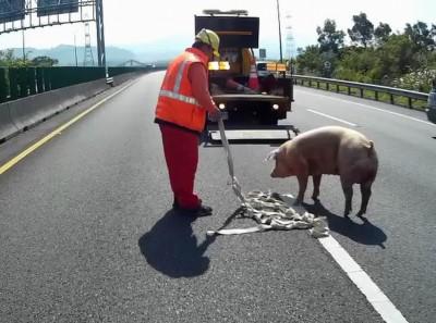 國道掉落物百百款  棺材、廁所、豬隻入列