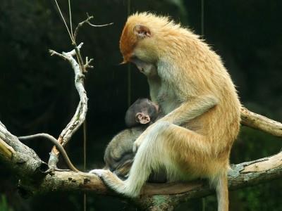 紅猴寶寶「濡安」與母黏踢踢 親爸不知在哪裡