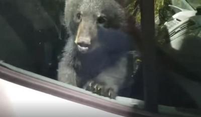 快開門!兩隻小熊爬進車內受困 按喇叭要駕駛「放人」