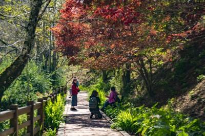 楓葉紅了! 福壽山農場楓葉轉紅  10月中旬進入觀賞期