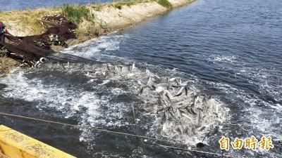 捕撈虱目魚前「弄魚」 魚群竄水面超壯觀