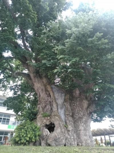 哈吉貝猛力襲日 千年神木「樹幹直徑1公尺」慘被吹斷