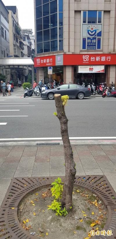 太惡劣!基隆田寮河12棵樟樹被鋸斷 市府籲全民緝凶