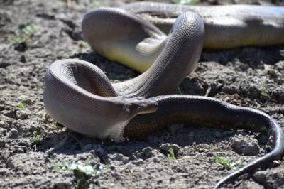 市區驚見超巨大蟒蛇蛻皮 澳洲雪梨發布警令
