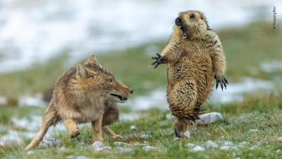 捕捉逗趣又震撼瞬間 他勇奪年度野生動物攝影家大獎