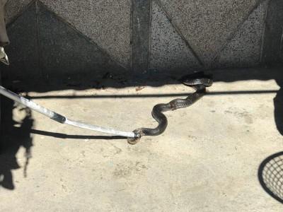 「救命喔!」阿嬤在家驚見2公尺眼鏡蛇 尖叫求救