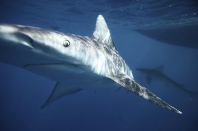 「最危險鯊魚」抓狂突襲!女遊客遭扯斷雙手、左胸撕裂
