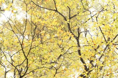 好夢幻!太平山山毛櫸步道變身金色森林