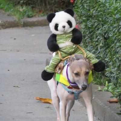 小狗背著貓熊玩偶散步 眼神超哀怨…