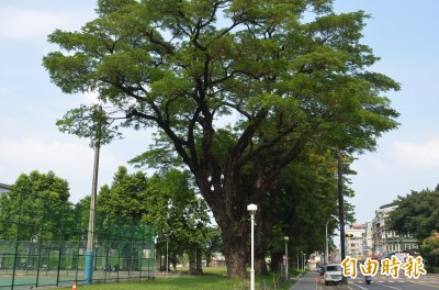 停車場工程恐傷害屏東公園珍貴雨豆樹群 縣府:護樹優先