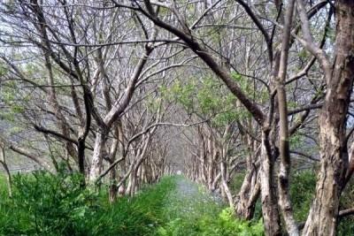 80萬棵水社柳林道 地方爭取日月潭美景登錄文資