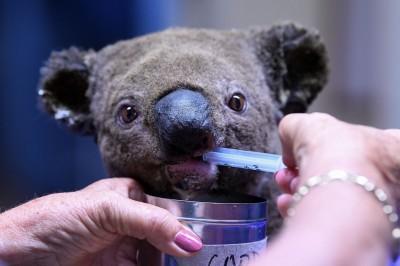 好可愛!小無尾熊逃過森林大火 在救援中心乖乖吃飯
