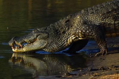狂! 鱷魚要吃掉朋友 神力女童騎牠身上猛挖雙眼救人
