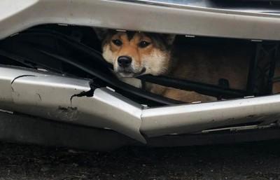 年幼柴犬遭撞「卡保險桿內」 女駕駛開了45分鐘才驚覺