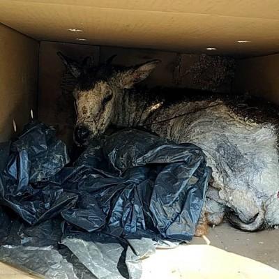 長鬃山羊疥癬蟎疫情擴大 阿里山豐山村觀光剉咧等