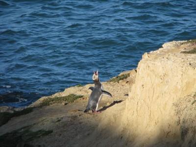 紐國年度最佳鳥類 瀕危企鵝奪冠