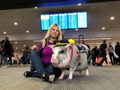 見過「豬」醫生!  舊金山機場明星治療豬狂圈21萬粉絲