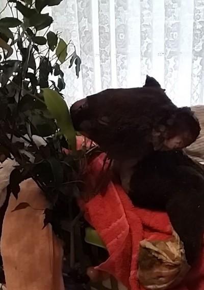 24隻無尾熊遭無情野火燒傷... 善心夫婦全收容回家治療