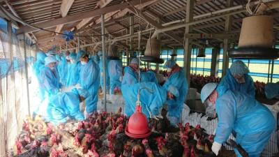 雲林褒忠1養雞場感染H5N2禽流感 撲殺1.3萬隻黃金雞