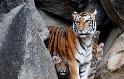 瀕危蘇門答臘虎闖入 印尼咖啡園、茶園1死1重傷