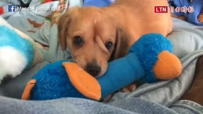傳說生物現身? 美國救援組織撿到超萌「獨角」小狗