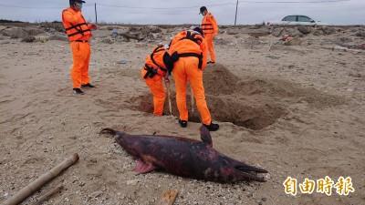 澎湖海洋怎麼了? 不同種類海豚同地陳屍