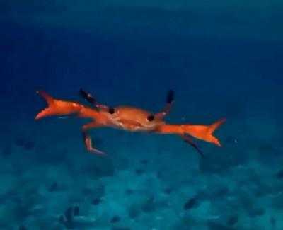 太可愛!網友錄下螃蟹游泳模樣 網友直呼:原來你游泳不側身