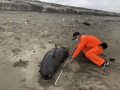 哭哭!全世界剩約1千隻 保育類江豚陳屍苗栗後龍沙灘