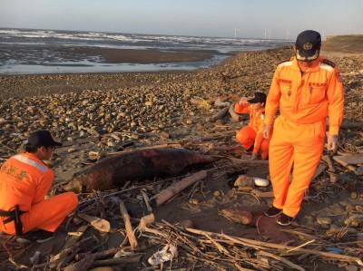 海洋悲歌!保育鯨豚沙灘擱淺死亡 苗栗單月3起