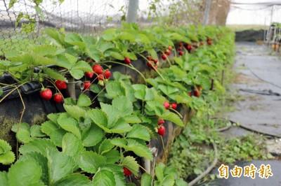 天冷草莓紅了! 台南善化新鮮開採