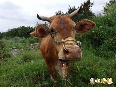 活活剁腿、砍頭、剝皮...台東河床3牛遭驚悚虐殺
