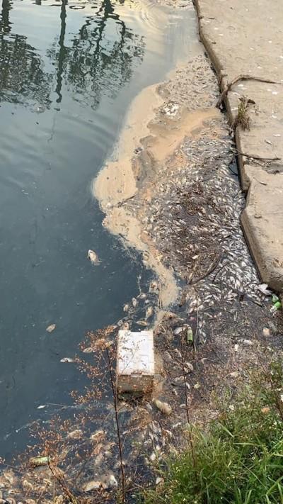 梧棲大排又見魚屍 市議員楊典忠:說好的水質淨化呢?