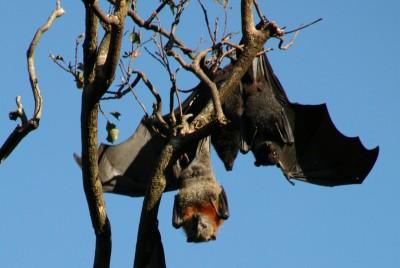 不只無尾熊! 澳洲野火波及灰頭狐蝠 數千寶寶被遺棄