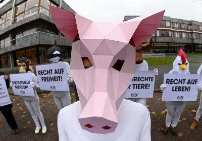 抗議無麻醉割睪丸 德國小豬列原告