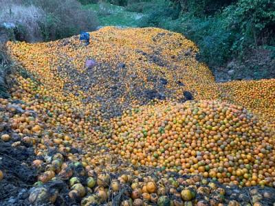 嘉義驚見柑橘山?林國慶批糟蹋農民心血 卻被抓包造謠