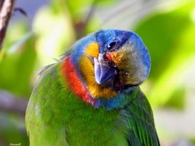 卡哇伊!五色鳥吃香蕉 搖頭晃腦模樣曝光