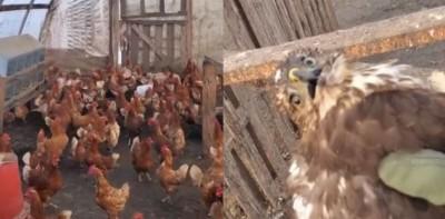 闖進雞舍慘遭「圍毆」!老鷹獲救表情「懷疑鳥生」