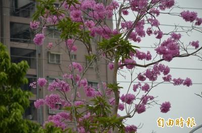 紅花風鈴木提前開花 為屏東蕭瑟冬景添彩妝