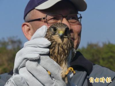 保育類「紅隼」金門中鳥網獲救 頭好壯壯野放