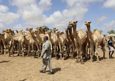 澳洲撲殺駱駝引眾怒 索馬利亞:數量太多可以送我們