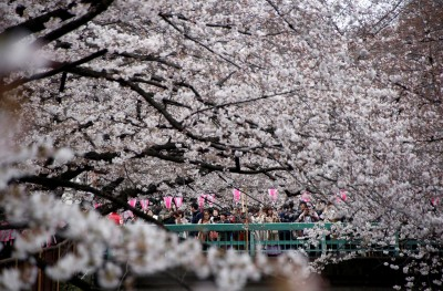 日本暖春影響櫻花開 民間氣象估東京、高知提早至3/19