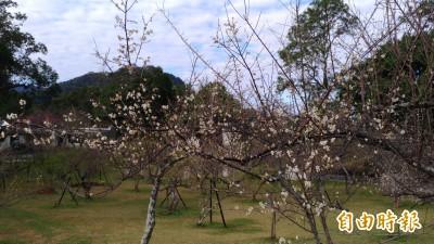 梅花開完櫻花開!角板山梅花季開跑花容增色「挺美的」