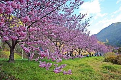 武陵農場櫻花季2月登場 客運車票明中午12點開放訂購