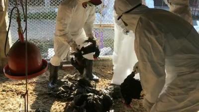 「禽」況不妙! 彰縣逾2萬隻土雞 爆疫情全撲殺