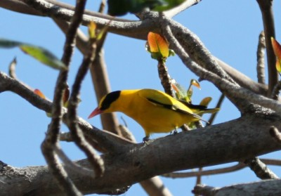 墾丁黃鸝從稀鬆平常變珍貴稀有 鳥友不勝唏噓