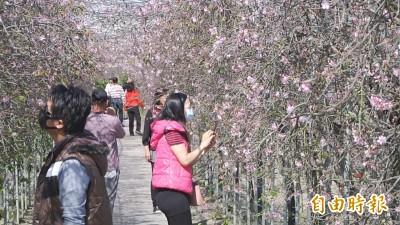 上萬棵櫻花大爆發!春節打卡 彰化這裡超好拍