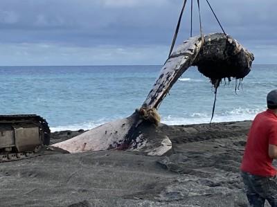 喪命擱淺台東海灘 20米長須鯨截半運往成大