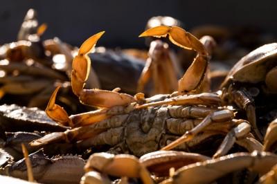太平洋海水日漸酸化 致螃蟹外殼溶解、感官受損