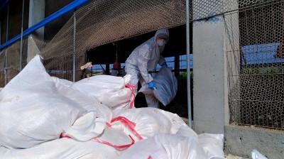屏東養雞場染禽流感 撲殺8715隻土雞